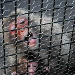 Singe en cage à Osaki Park