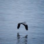Miyajima côté oiseaux