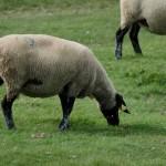Miam, la spécialité du quoi l'agneau de pré salé