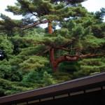 Les arbres japonais sont des bonzaï géants