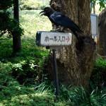 """Les """"Karasu"""" du Japon sont juste énormes"""